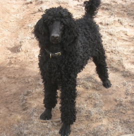 Madonna is a Standard Poodle who lives in the High Desert of New Mexico.